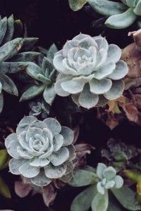 Plante grasse aeonium