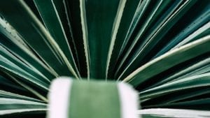 Agave - Plante grasse