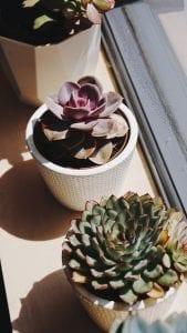 Echeveria - plante grasse