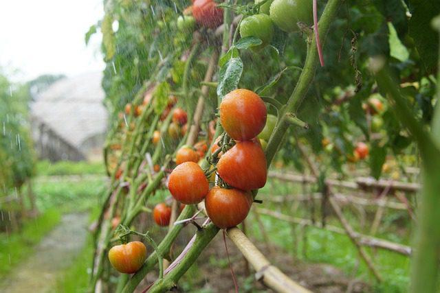 maladie-tomate