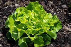 salade-jardin